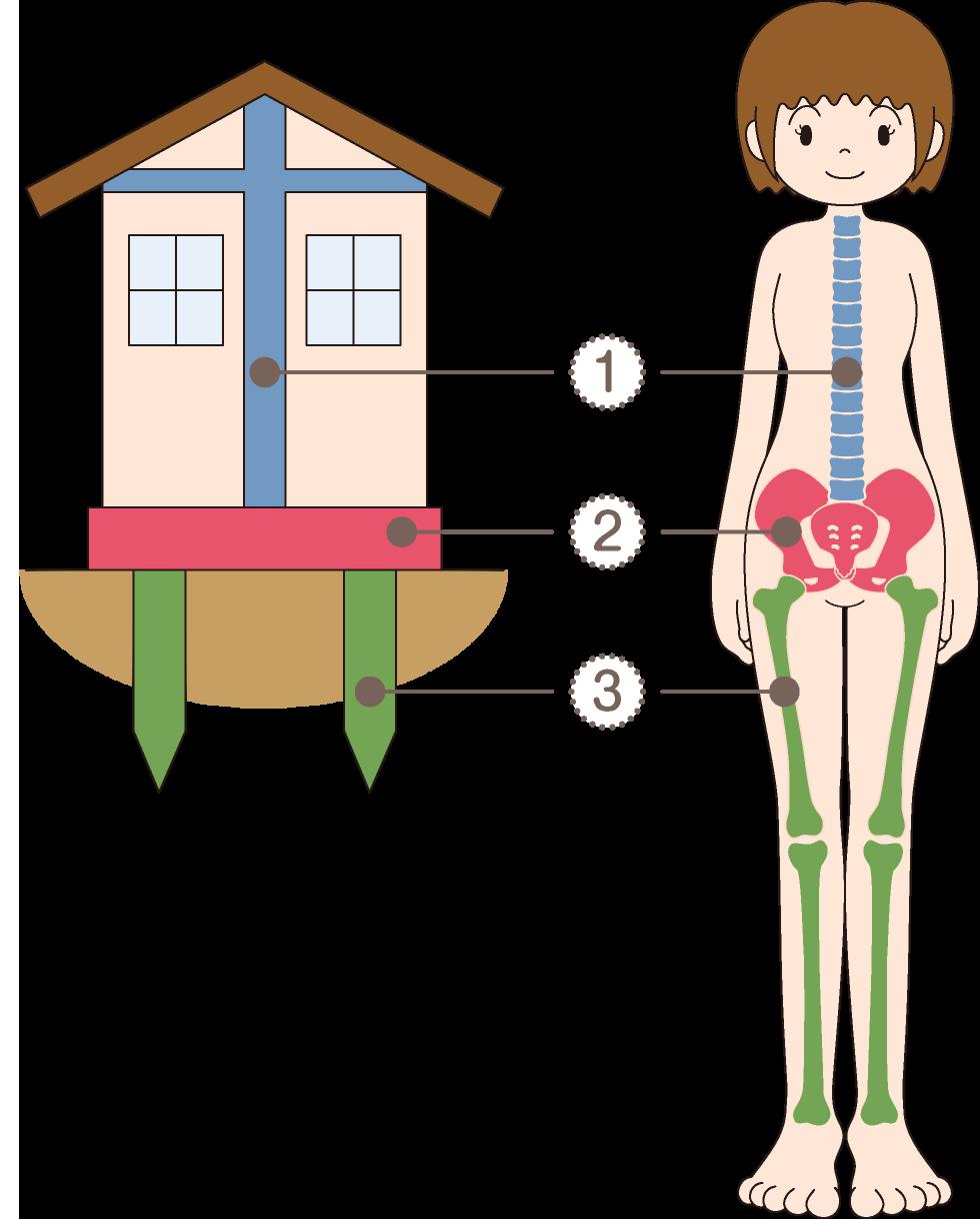 骨盤は体の土台